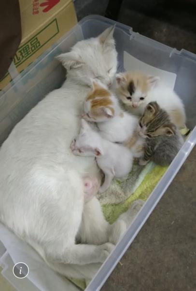 白猫 ママ猫さん 兄弟子猫