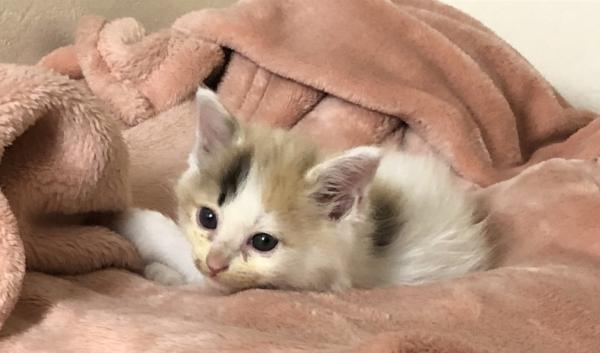 子猫 パステル三毛猫